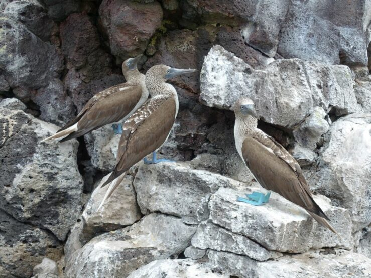 Blue-footed booby birds