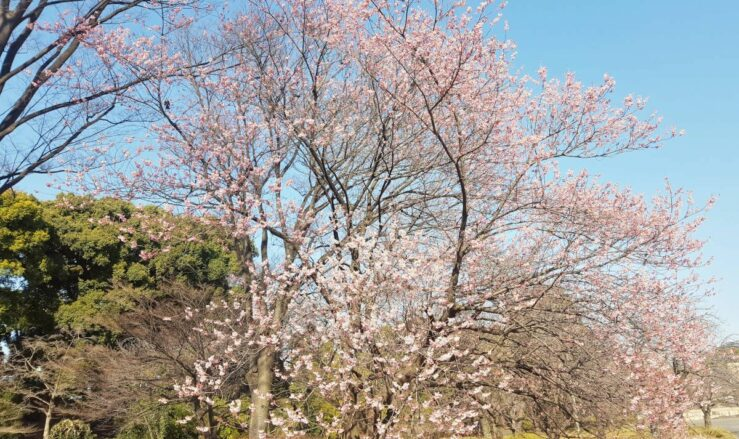 Pink parks in Tokyo cherry blossom season
