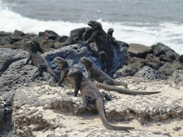 Baby marine iguanas Tortuga Bay