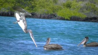 travel with pelicans diving