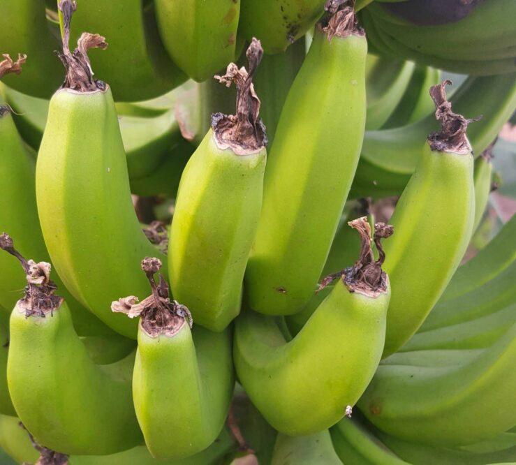 bananas ecuador