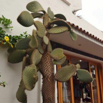 Street cactus in front of a restaurant
