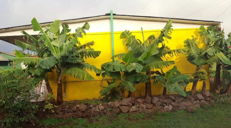 Awesome banana palms outside our cabana in Hanga Roa.