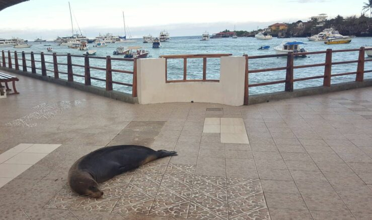 A resident on the pier with a view to taxi and tour boats as well as cruise ships and a Galapagos shark.