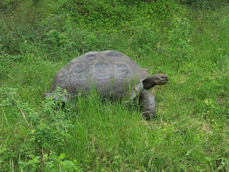 see the Giant Tortoises