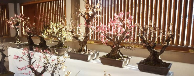 Plum or cherry bonsai blossom season at the seasonal festival at the Yushima Tenjin Shrine in Tokyo?