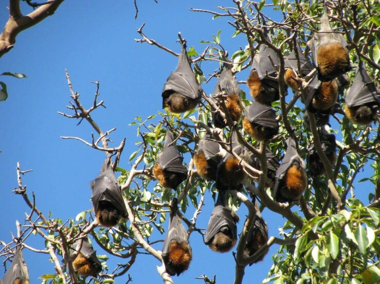 Flying Foxes Australian animals in the wild Queensland Esmoth Pixabay