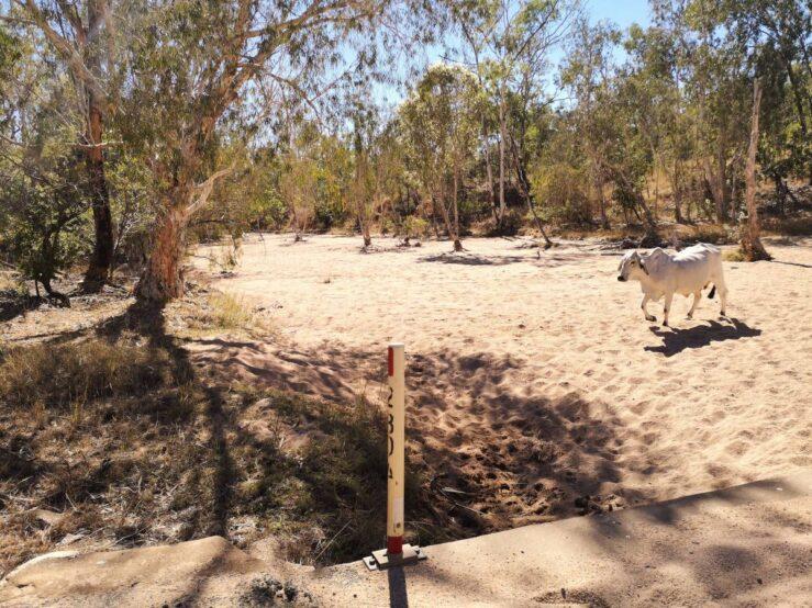 Australia's outback wild cows