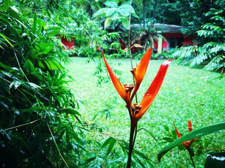 Daintree Rainforest flower