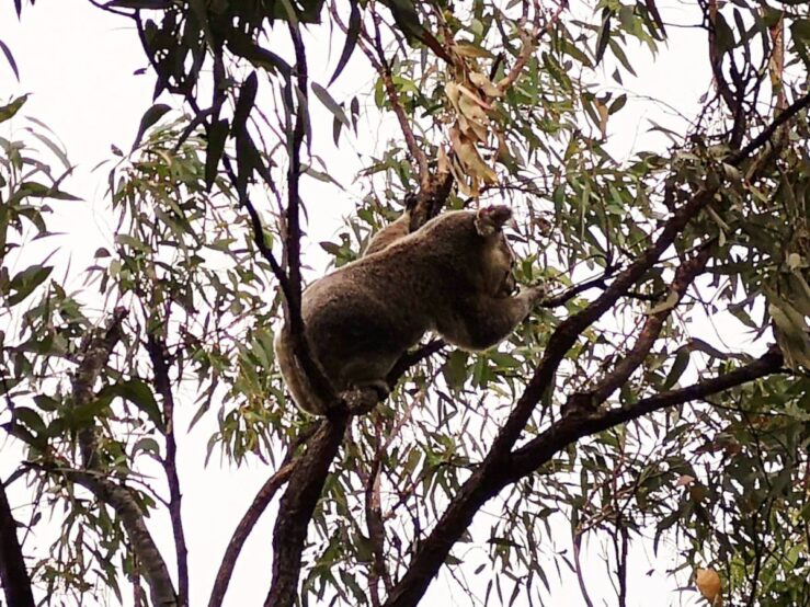 Koala in the eucalyptus tree tops
