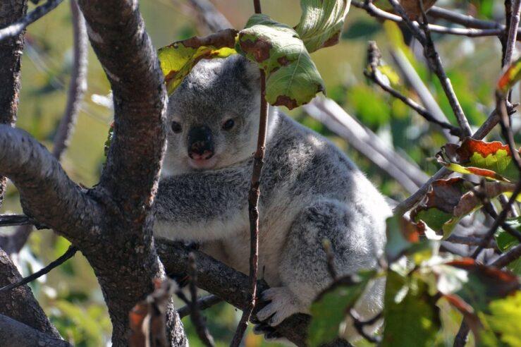 Magnetic Island koala annca Pixabay