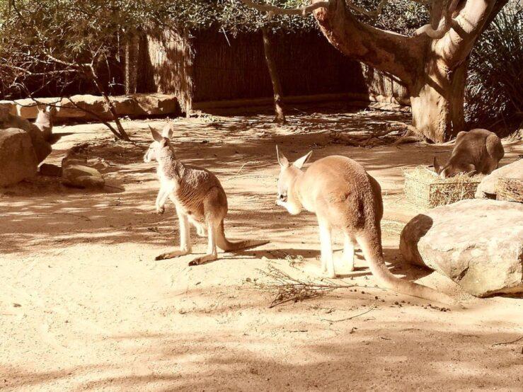 Sydney zoo kangaroos